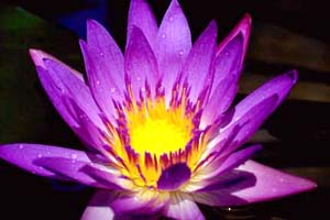 Picture of Purple Lotus Flower; Actual size=130 pixels wide